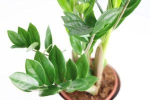 zamioculcas-zamiifolia Legényvirág