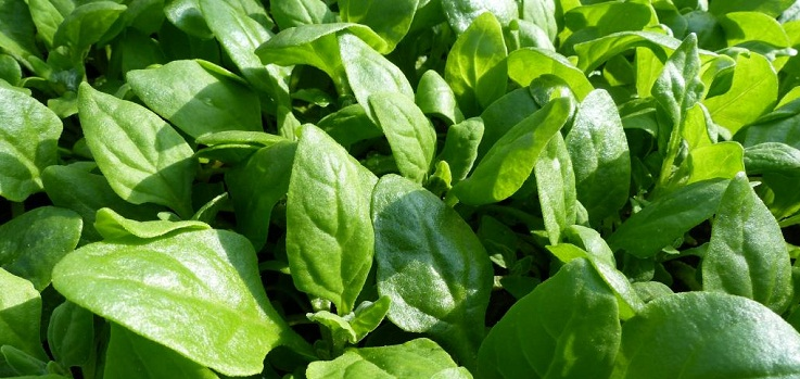 spinach-spinacia
