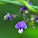 Glycine max ssp. soja