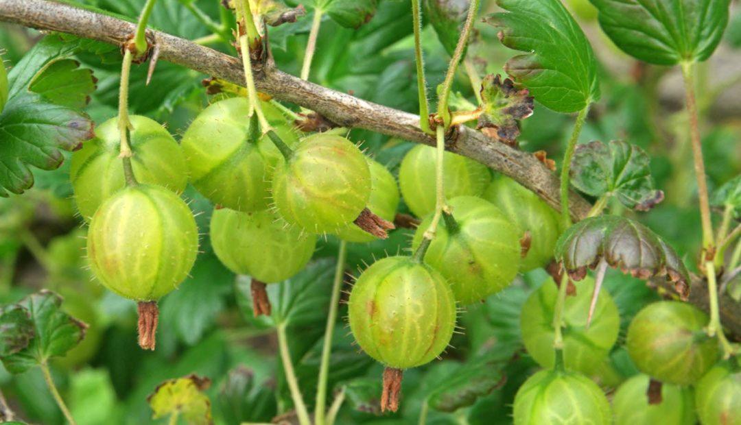 Egres (Ribes uva-crispa)