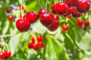 majusi cseresznye