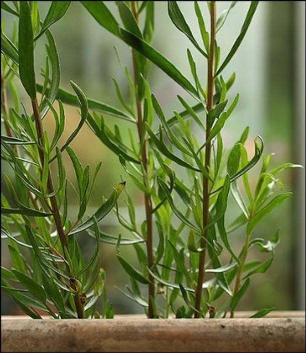 Francia tárkony, Artemisia dracunculus szedhető