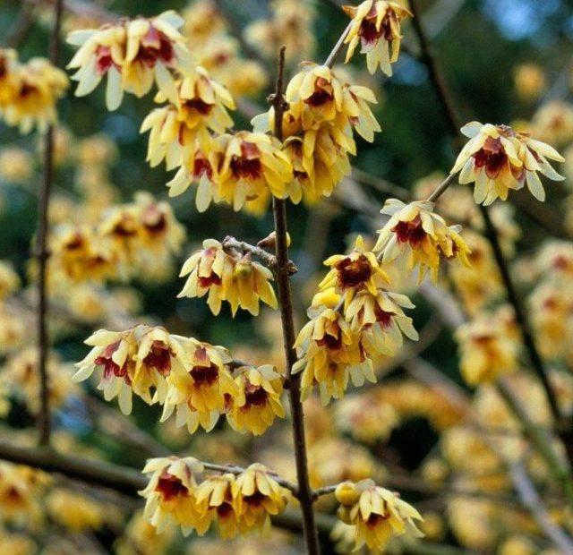 Chimonanthus praecox talaj mésztartalma