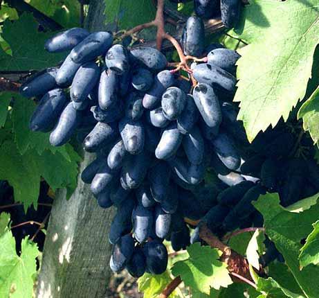 Suvenir datolyaszőlő