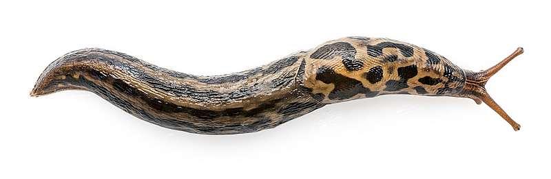 nagy meztelen csigára (Limax maximus)