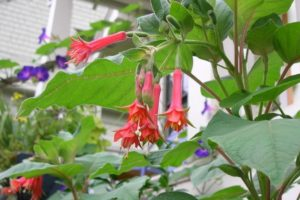 fuchsia speciosa