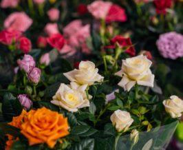 minirozsa rózsaszezon