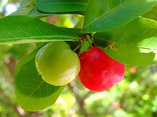 acerola-gyumolcs barbadoszi cseresznye