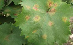szőlőperonoszpóra-Aponyi