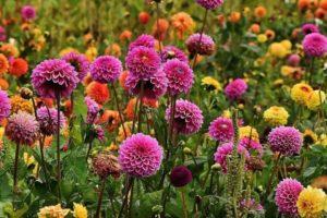 dalia-viragok vágott virágnak