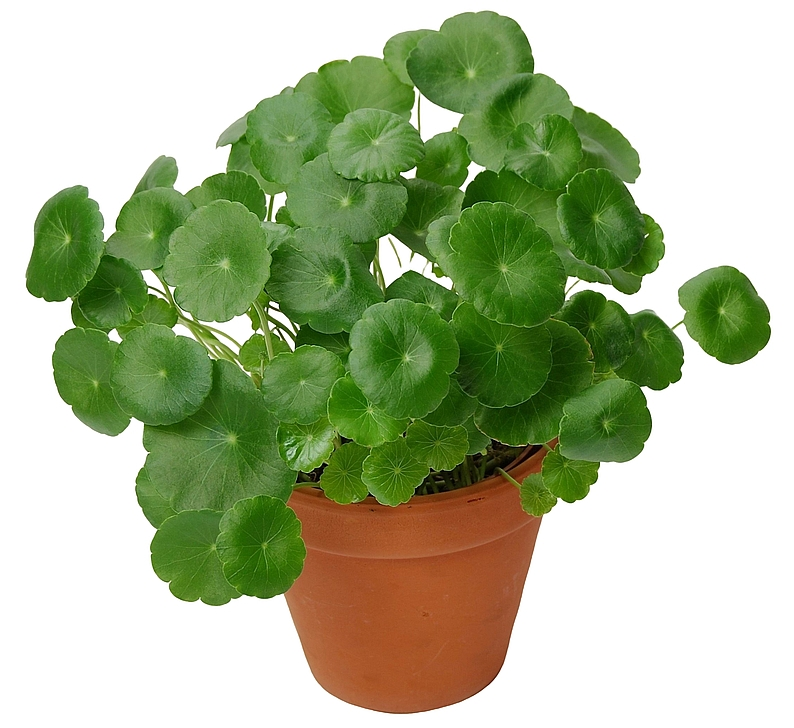 Centella Asiatica 'Lucky Leaves'