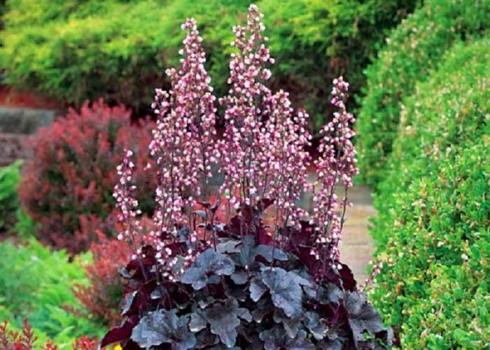 Bíborlevelű tűzeső Heuchera Palace Purple Japán vérborbolya
