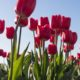 tulipán ültetőkosár ültetési mélység