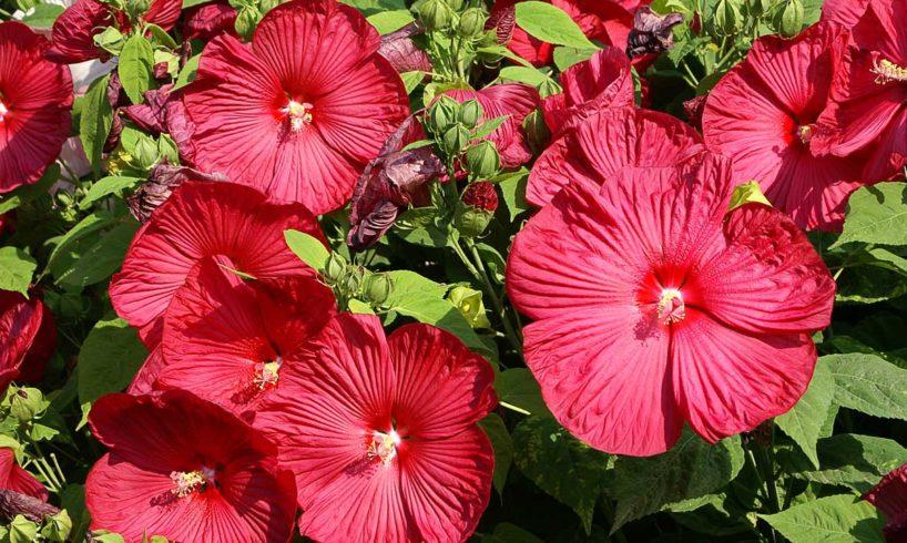 hibiszkusz mediterrán növényeinket