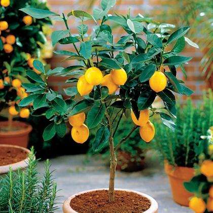 citrus mediterrán növényeinket
