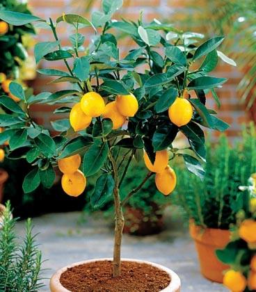 citrom Virágföldbe