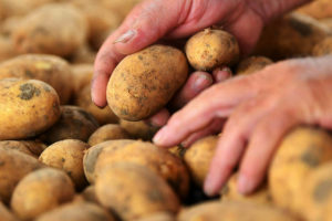 krumpli burgonya