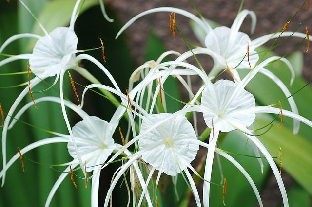 pókliliom